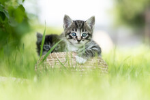 Two Funny Grey Kittens On The Grass In A Basket
