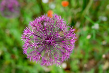 Blossoming Wild Broadleaf Chives, Allium Senescens,growing On A Sunny Day In Organic Garden