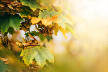 Maple Leaves Of Yellow Green Color Against The Background Of Blurred Autumn Nature. Sun Exposure. Warm Sunlight Glare