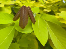 Dark Brown Young Leaves.