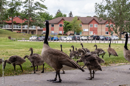 Gaggle of Canada geese and goslings on pavement and grass in front of buildings and parking lot Fototapeta