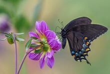 Dark Morph Eastern Tiger Swallowtail Butterfly On Dahlia Flower