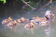A Female Wood Duck Swimming On A River With Its Ducklings