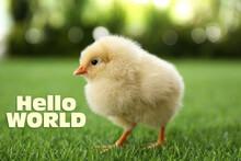Hello World. Cute Fluffy Chick On Green Grass Outdoors, Closeup