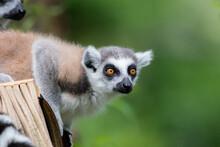Ring Lemur Catta