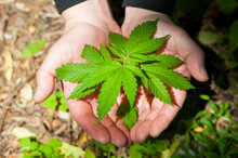 Cannabis. Bush Marijuana On Blurred Background . Bush Cannabis On The Palm. Male Hands Are Holding A Hemp Bush, A Twig On The Palms. Culture, Medicine And Hemp Products, Ecology, Green Leaves