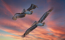Pelicans Flying In The Sunset