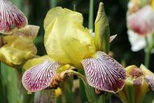 Yellow And Crimson Bearded Iris Flower