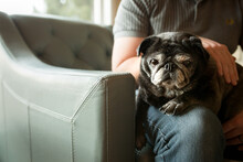 Elderly Pug Sits On Owner's Lap Looking At Viewer