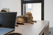Cute Cat Standing On Top Of Table In Front Of Laptop At Home Office