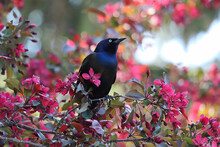 A Common Grackle Sits Inbetween Pink Flower In A Tree