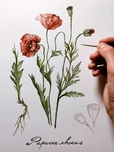 Papaver Rhoeas Watercolor Illustration