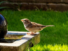 House Sparrow On Water Feature