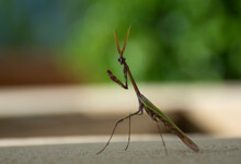 Praying Mantis With Feather Antennas