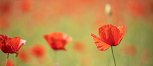 Landscape With Nice Sunset Over Poppy Field Panorama. Spring Summer Nature View, Blurred Dreamlike Scenery. Panoramic Summer View Of Blooming Wild Flowers In Meadow. Wide Angle View, Idyllic Garden