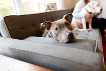 Pit Bull On Couch Looks At Viewer