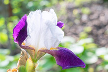 A Blooming Iris Flower On A Beautiful Background