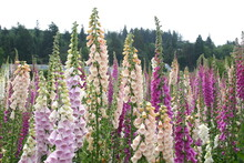 Foxglove Seed Production Fields