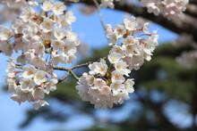 ソメイヨシノ(桜)の花