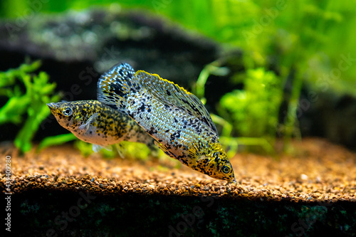 sailfin molly (Poecilia latipinna) in a fish tank with blurred background Fototapet