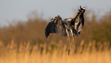 Grey Heron, Ardea Cinerea, Landing On Field In Orange Spring Sunlight. Long-legged Bird With Open Wings On Pasture. Wading Featehred Animal In Flight Over The Grassland.