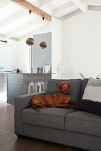 Country Cottage Interior With Vizsla Dog Sitting On Couch