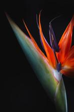 Close Up Of Strelitzia Flower On Black Background