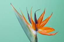 Exotic Tropical Flower Of Strelitzia On Green Background