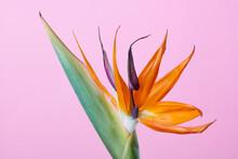 Bird Of Paradise Flower Strelitzia On Pink Background