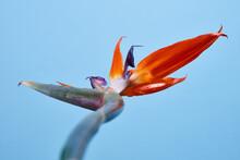 The Bird Of Paradise Flower Strelitzia On A Blue Background