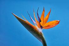 Tropical Orange Flower Strelitzia On A Blue Background.