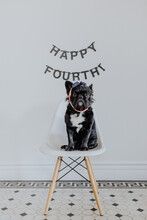 A Fluffy French Bulldog Puppy Dog Poses For Fourth Of July