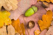 Acorn And Oak Leaves In Autumn