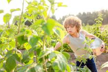 Boy Reaches To Pick Raspberries On A Farm