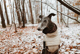A galgo in a snowy forest