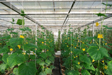 Cucumber Plants Growing In Greenhouse