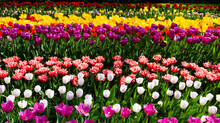 Beautiful Blooming Colorful Tulips In Spring Garden
