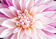 Fresh Beautiful White And Pink Dahlia Flower.