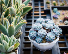 Beautiful Succulent Plant In Flower Pot