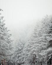 Coniferous Trees In Snow.
