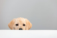 Portrait Of Labrador Puppy Peeking Muzzle Under White Table On Gray Background With Copy Space. Curious Puppy Or Dog Or Game Of Hide And Seek With Pet. Watching, Seeing Or Know Secrets.