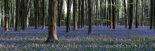 Sea Of Bluebells In Micheldever Forest