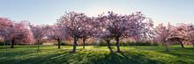 Cherry Blossom Walk In Spring In Harrogate