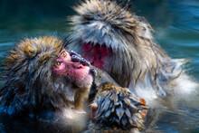 Snow Monkey Bath Time