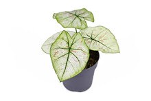 Small 'Caladium Bicolor Strawberry Star' Houseplant With White Leaves, Green Veins And Pink Spots In Flower Pot Isolated On White Background