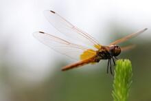 羽を休めるオレンジ色のショウジョウトンボ。An Orange Dragonfly That Rests Its Wings.