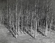 Aspens In The Foothills Of The Rocky Mountains.