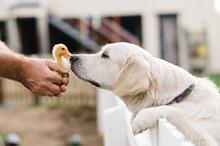 Duckling Meets Dog