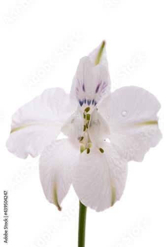 perennial delphinium flower Fototapet