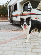 Border Collie Dog Near A Van